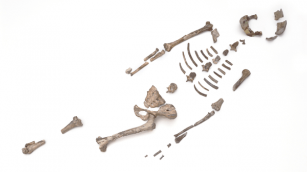 Research revealed How Human oldest ancestor Lucy died