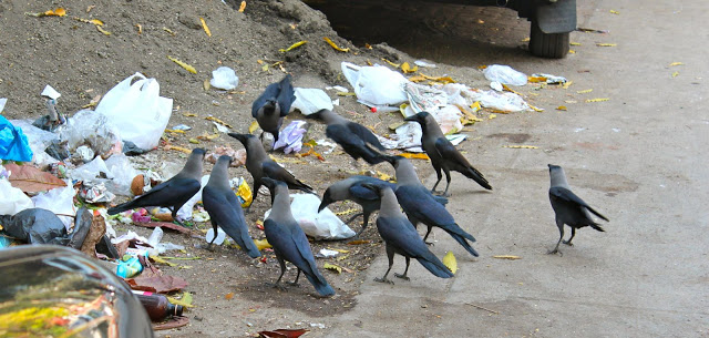 Guwahati has only one lakh plus crows left!